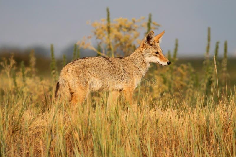 Coyote occidental photo stock