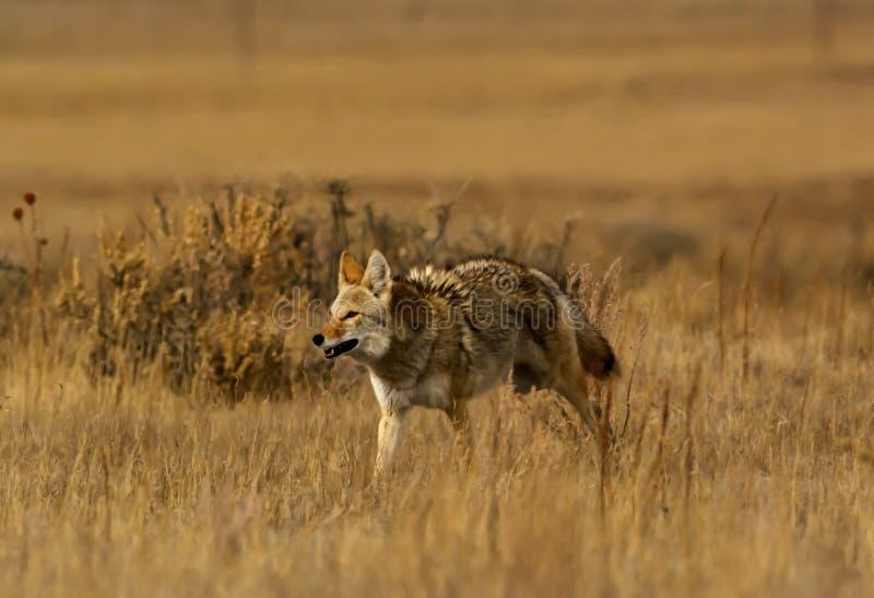 Coyote op alarm stock foto