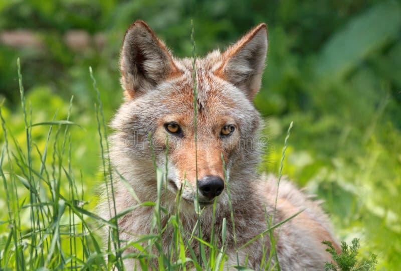Coyote op een gebied royalty-vrije stock afbeeldingen