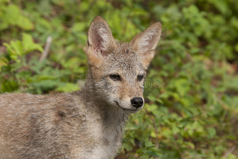 Download Coyote Puppy Close up stock image. Image of attentive - 30242913