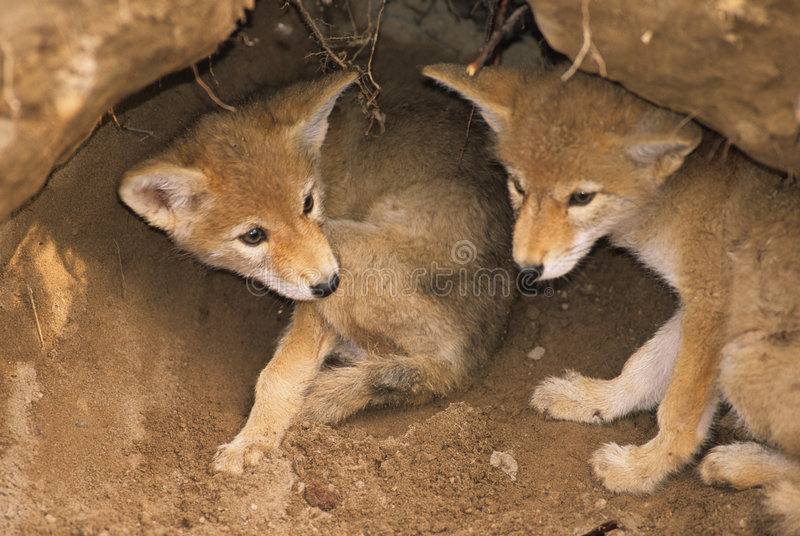 Coyote Pups in Den. Two coyote pups just inside their den stock image