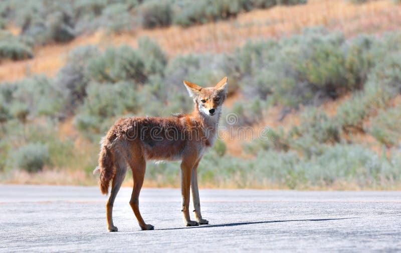 Coyote que mira fijamente la cámara imágenes de archivo libres de regalías