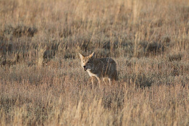 Coyote que se coloca en hierba fotografía de archivo libre de regalías