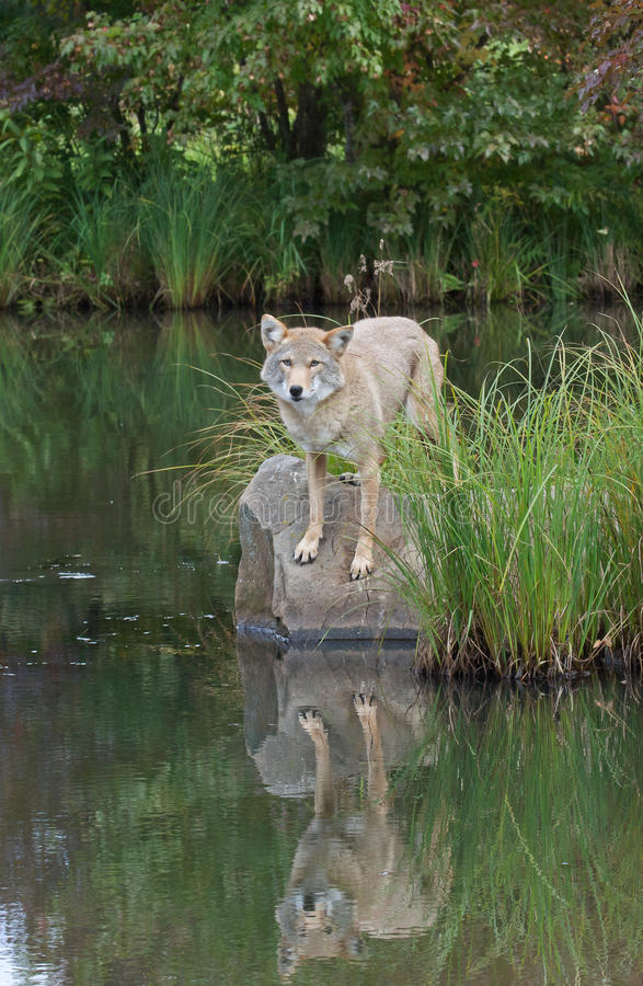 Coyote with reflection stock images