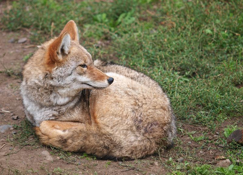 Coyote resting on the ground stock image