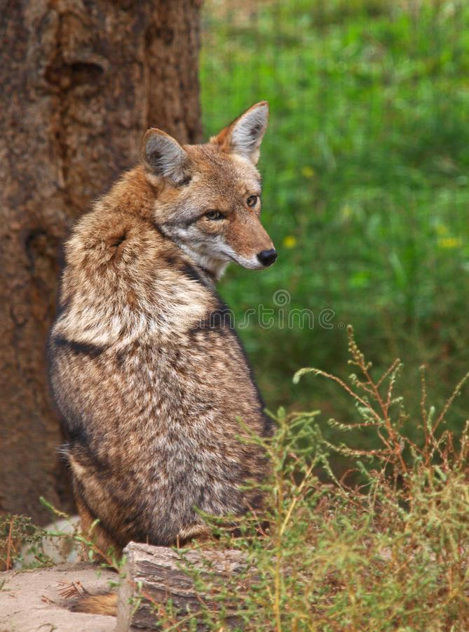 Coyote resting on the ground stock images