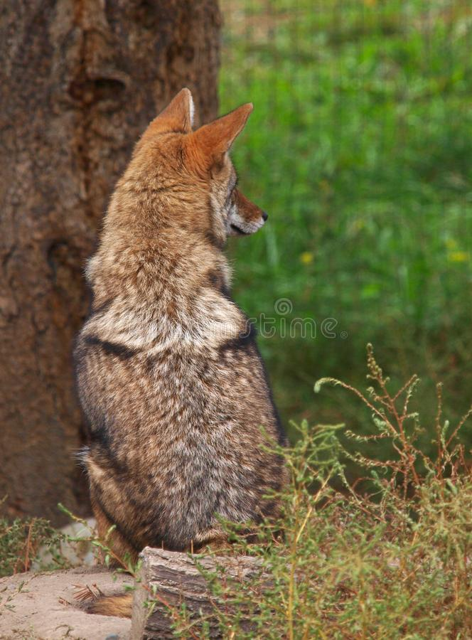 Coyote resting on the ground royalty free stock photo