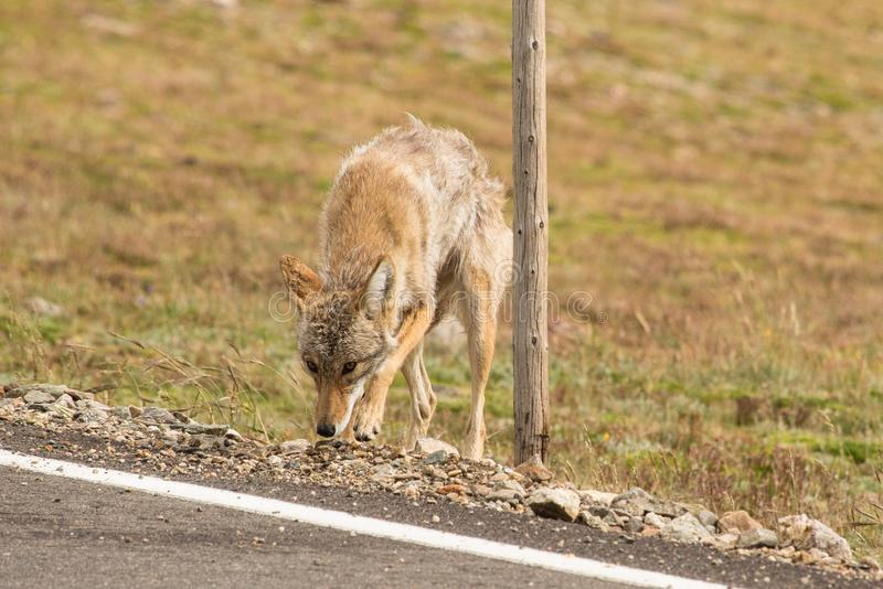 Coyote in Rocky Mountain National Park. This coyote was at the top of Trail Ridge Road in Rocky Mountain National Park. When we first saw him, we thought someone royalty free stock images