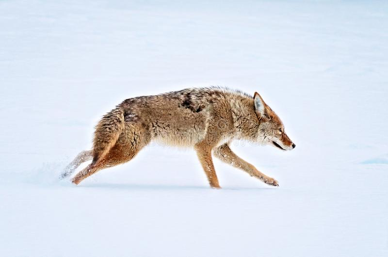 A coyote running across a snow covered pond in the middle of win royalty free stock photography