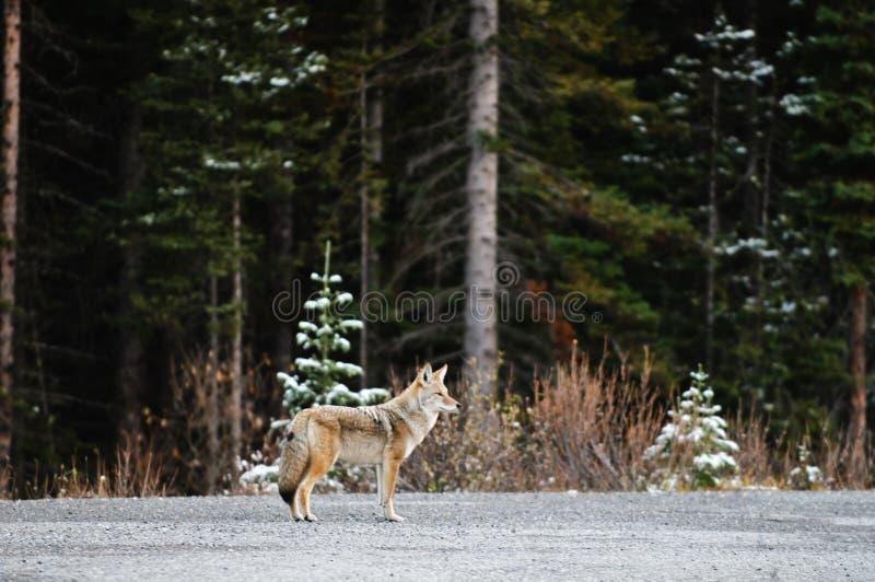 Coyote salvaje