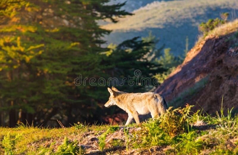 Coyote salvaje en San Francisco fotografía de archivo