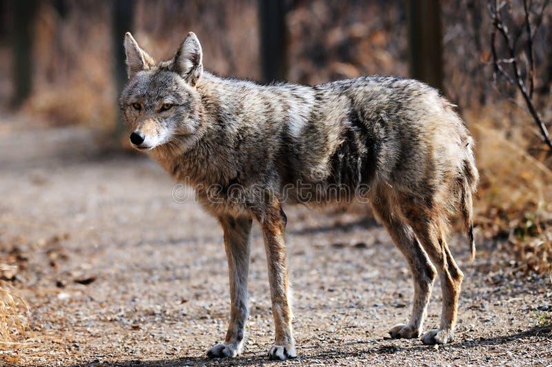 Coyote in santuario urbano, Calgary, Alberta fotografia stock