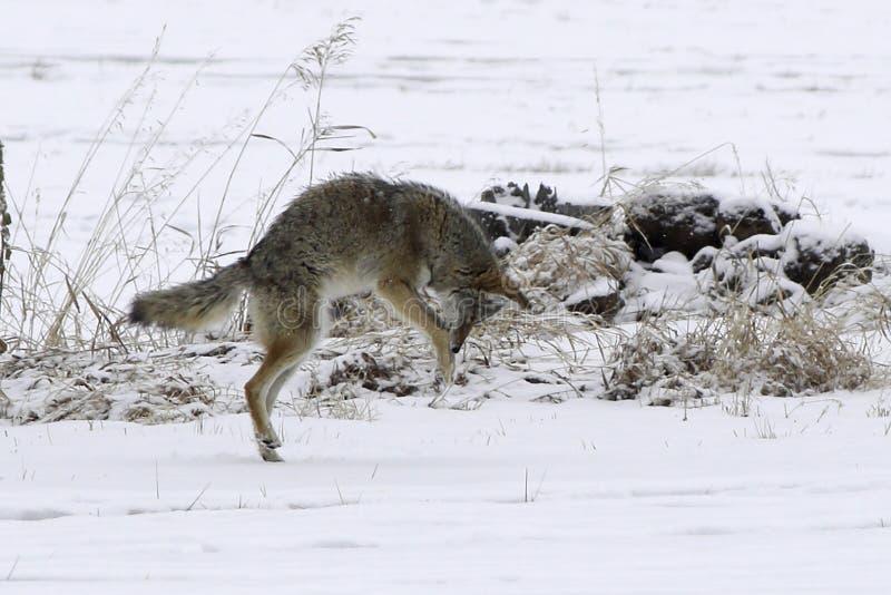 Coyote sautant dans la neige images libres de droits