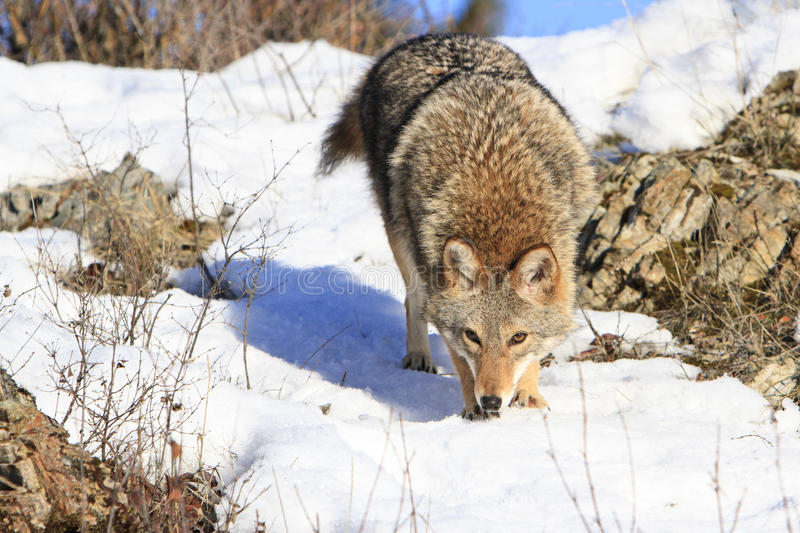 Coyote on scent trail. For prey royalty free stock photo