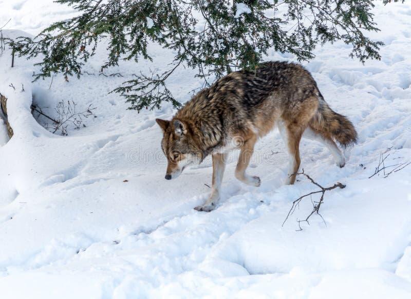 Coyote seul dans la promenade d'hiver photo stock