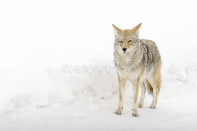 Coyote in sneeuw, die camera bekijken royalty-vrije stock afbeeldingen