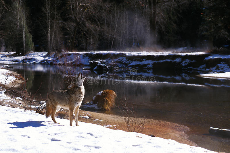 Coyote in snow howling by river (Canis latrans), California, Yosemite National Park, Merced River royalty free stock photography