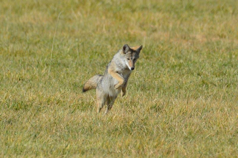 Coyote solitario que salta en presa fotografía de archivo