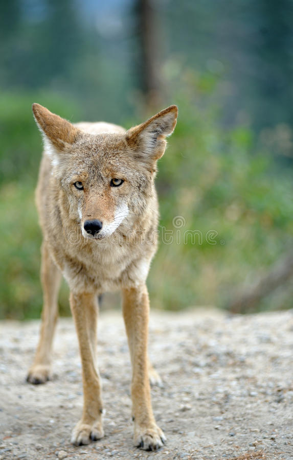 Free Coyote Standing And Watching Viewer Royalty Free Stock Photo - 21203515
