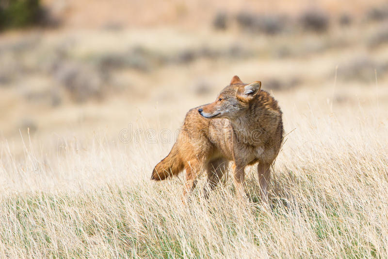 Coyote standing broadside in the Oklahoman plains. During the winter royalty free stock photo