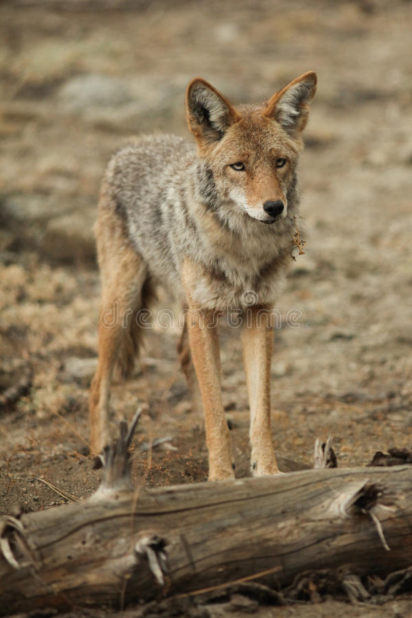 Free Coyote Standing Near A Log In Yosemite National Park. Royalty Free Stock Images - 80049189
