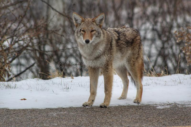 A Coyote Staring At The Camera Outside royalty free stock photography