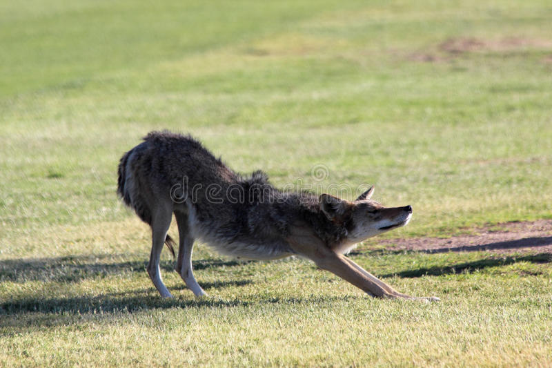 Coyote Stretch royalty free stock images