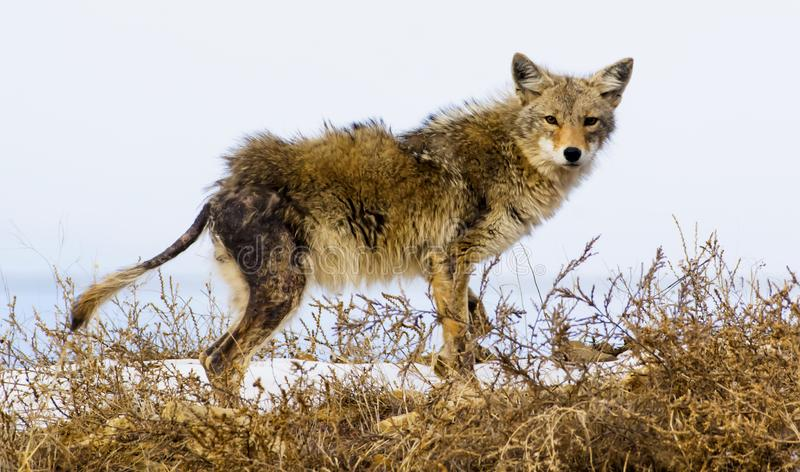 Coyote suffers from mange, nature can seem cruel. Nature can appear cruel as this Coyote suffers from mange and may not survive stock images