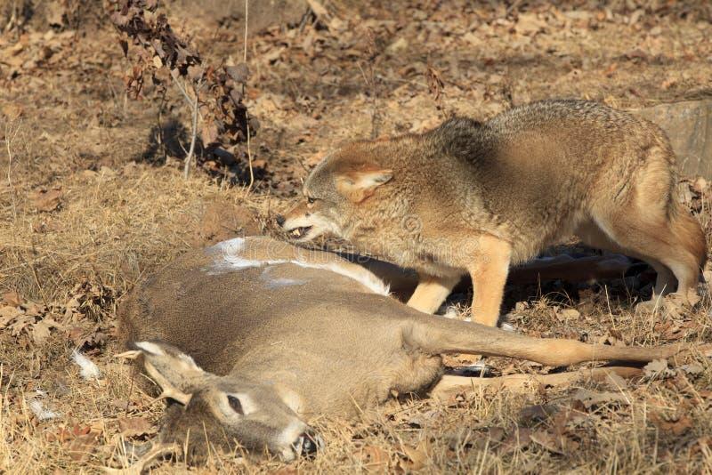 Coyote sur la carcasse de cerfs communs photo stock