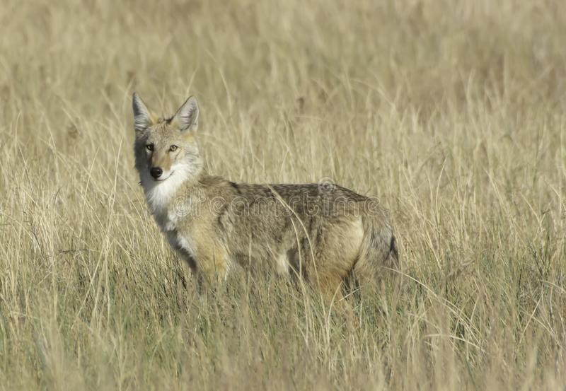 Coyote sur les prairies nationales de Pawnee photographie stock