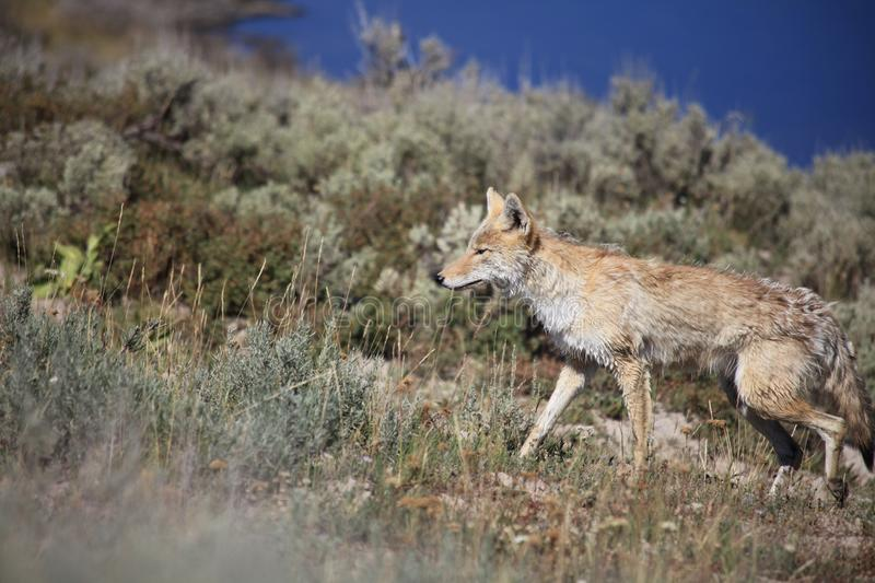 A Coyote is walking through brushwood in yellow stone royalty free stock photo