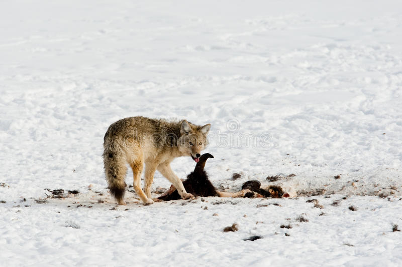 Download Coyote in Winter stock photo. Image of coyote, scavenge - 18007968