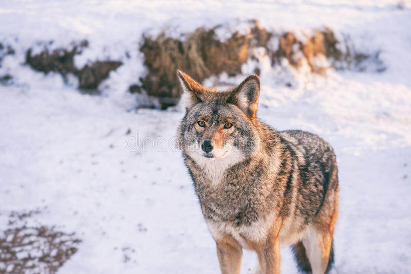 Coyote in winter in Quebec, Canada. Coyote in winter at Omega park, Quebec, Canada stock images
