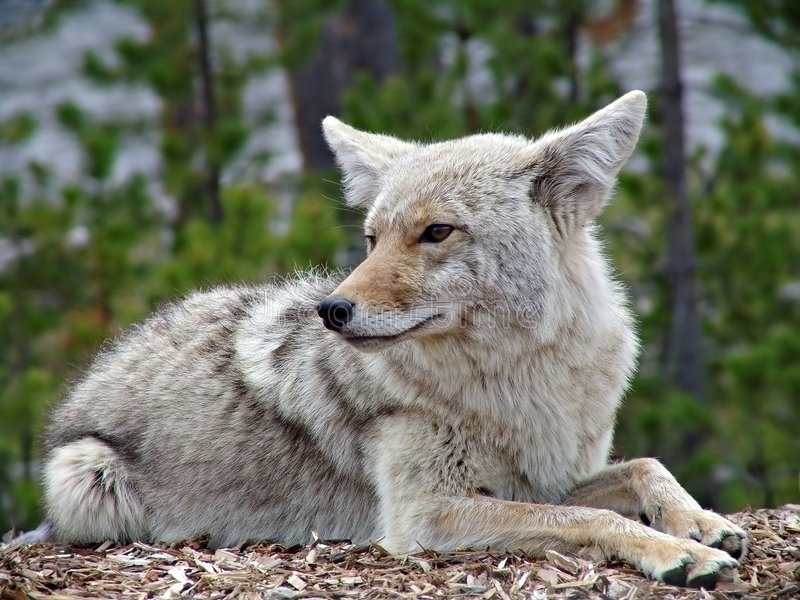 Coyote in yellowstone royalty free stock photo
