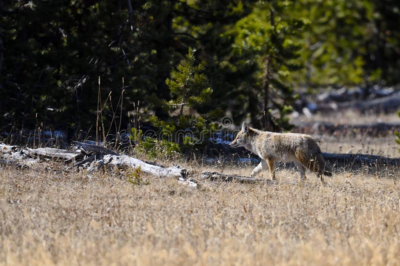 Coyote in Yellowstone National Park stock photography
