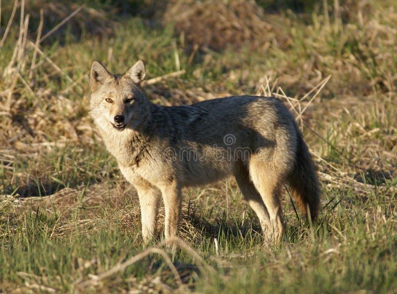Coyote1 royalty-vrije stock afbeeldingen