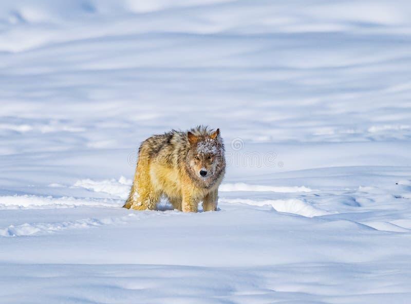 Coyoteeinden aan rust na het doornemen diepe sneeuw royalty-vrije stock fotografie