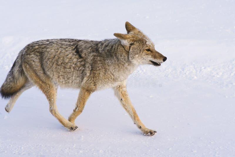 Coyotegangen in Sneeuw royalty-vrije stock foto's