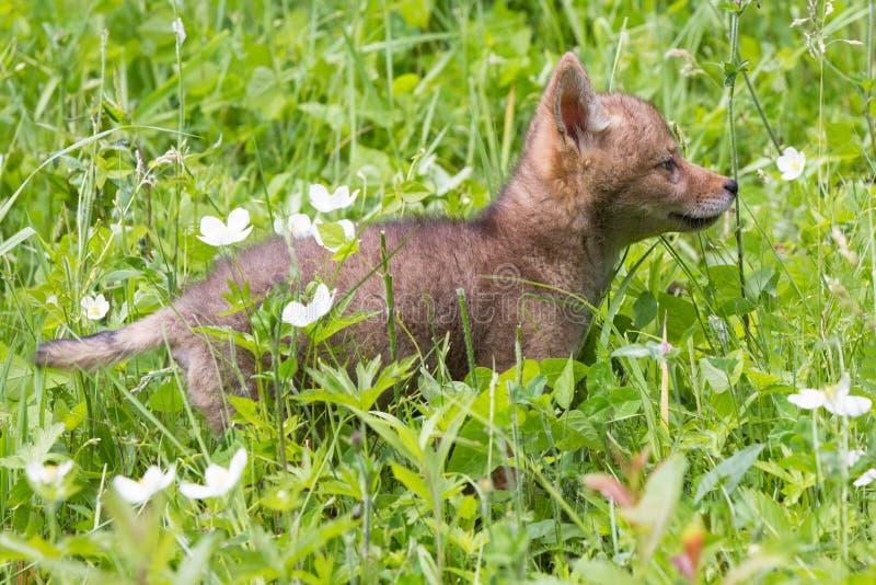 Coyotejong in de lenteweiland stock foto