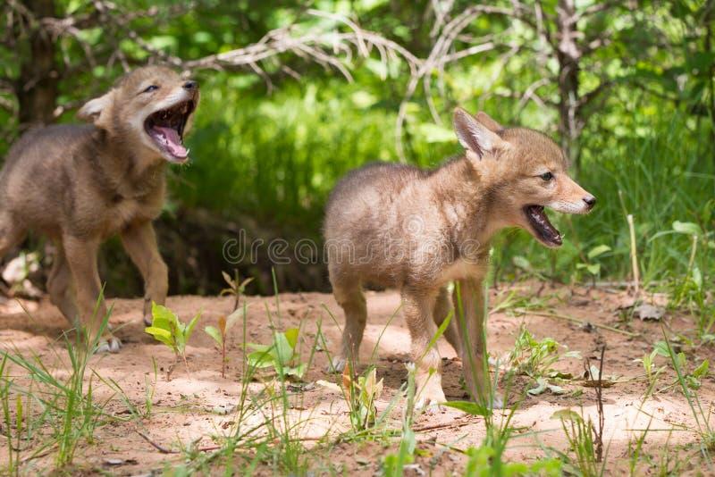 Coyotejongen het huilen royalty-vrije stock foto