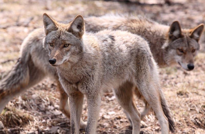 Coyotes photos libres de droits