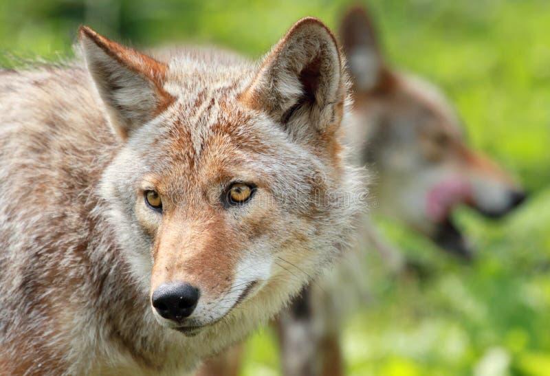 Coyotes in aard royalty-vrije stock foto's