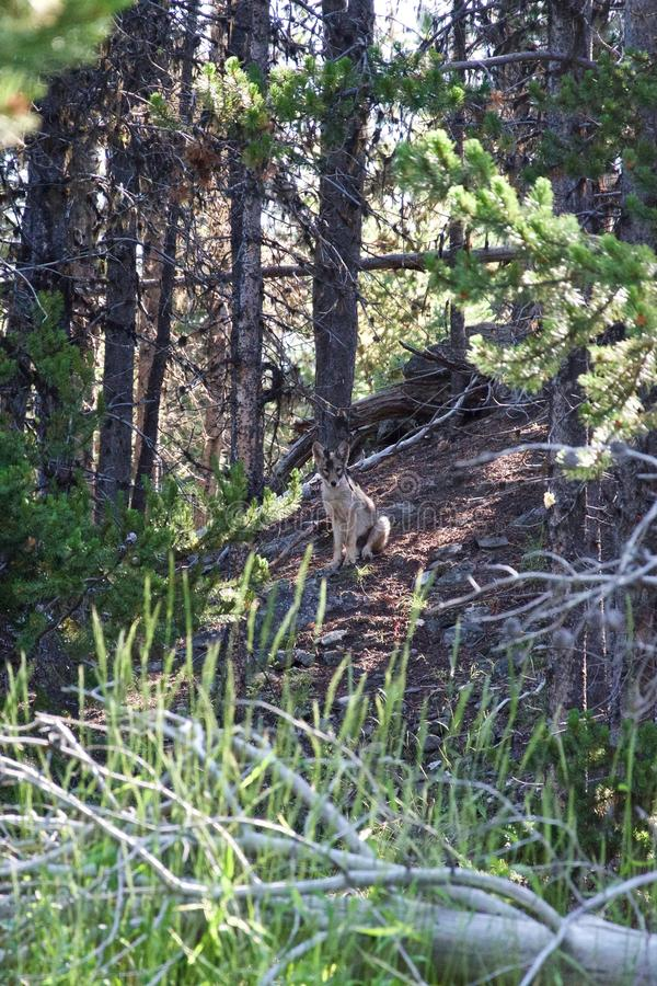 Coyotes during a hiking at Pelican Creek Yellowstone National Park stock photo