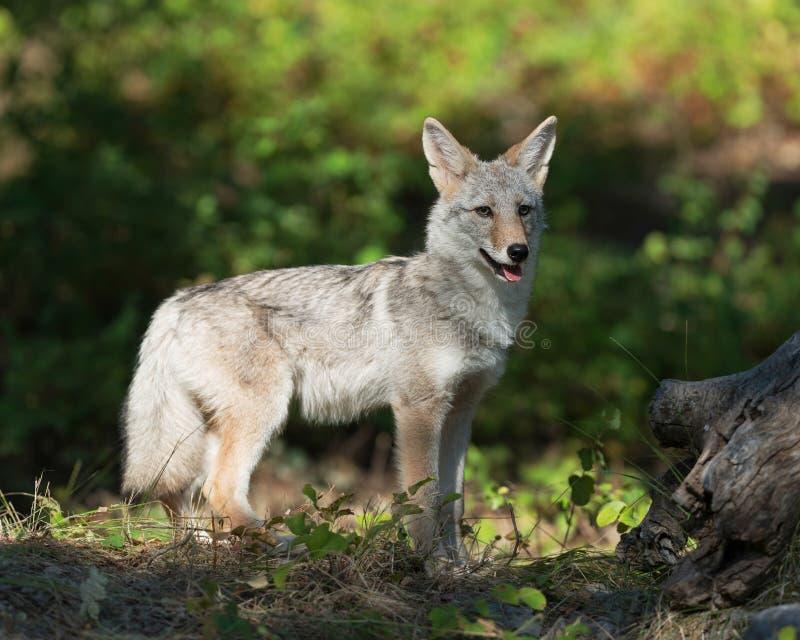 Coyotewelp in het hout royalty-vrije stock foto