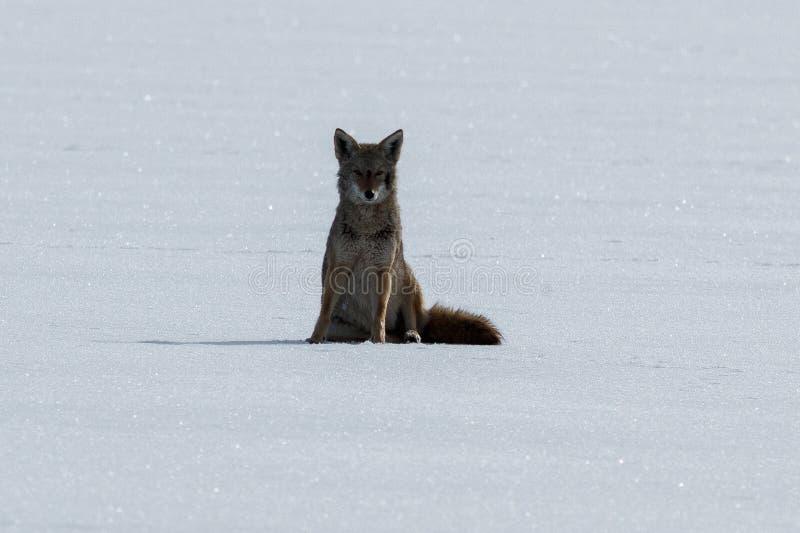 Coyotezitting op de sneeuw stock fotografie