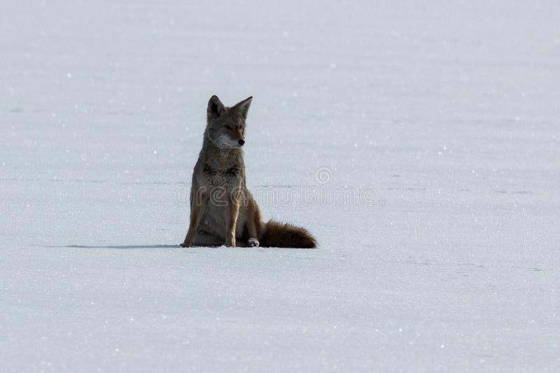 Coyotezitting op de sneeuw royalty-vrije stock afbeelding