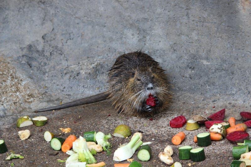 Coypu που τρώει τα λαχανικά στοκ εικόνα με δικαίωμα ελεύθερης χρήσης
