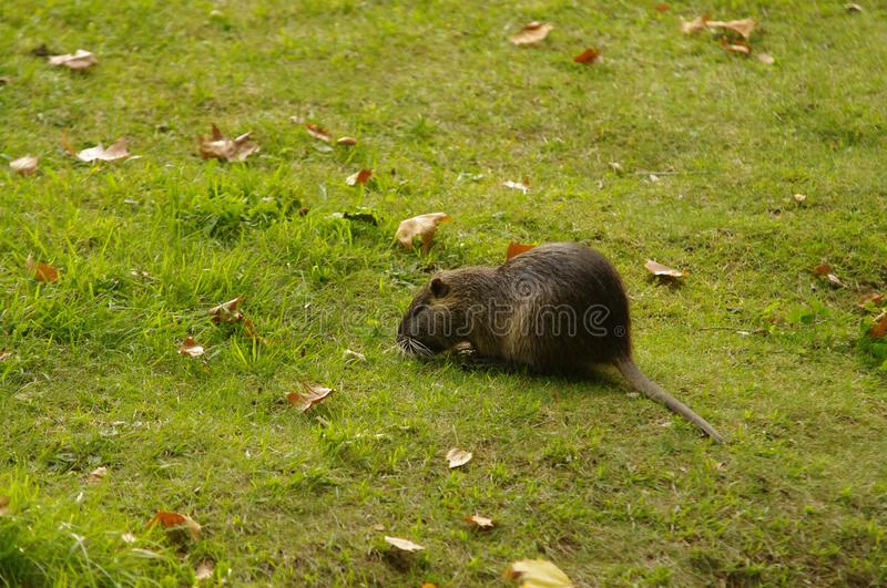 Coypu also known as the river rat or nutria royalty free stock photos