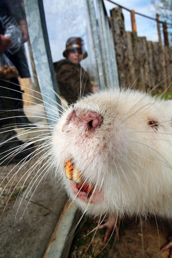 Download Coypu beaver rodent stock photo. Image of beaver, white - 5017886