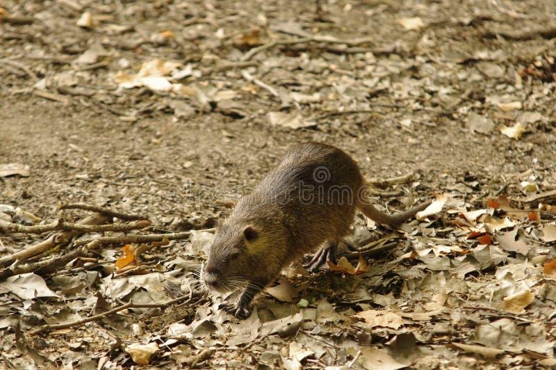 Coypu igualmente conhecido como o rato ou o nutria do rio fotos de stock
